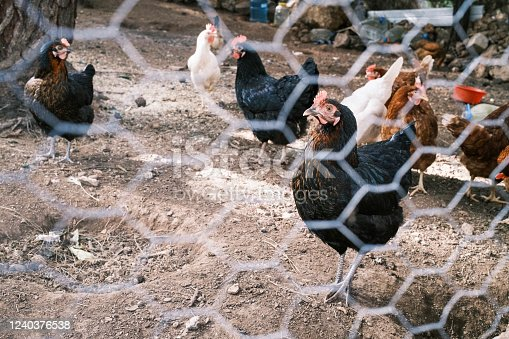 Chickens in poultry.