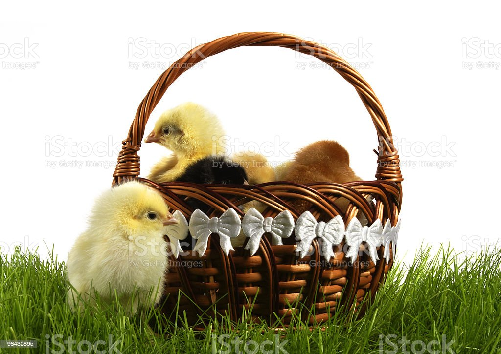 chickens royalty-free stock photo
