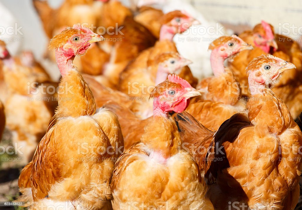 chickens roam freely in a lush green paddock stock photo