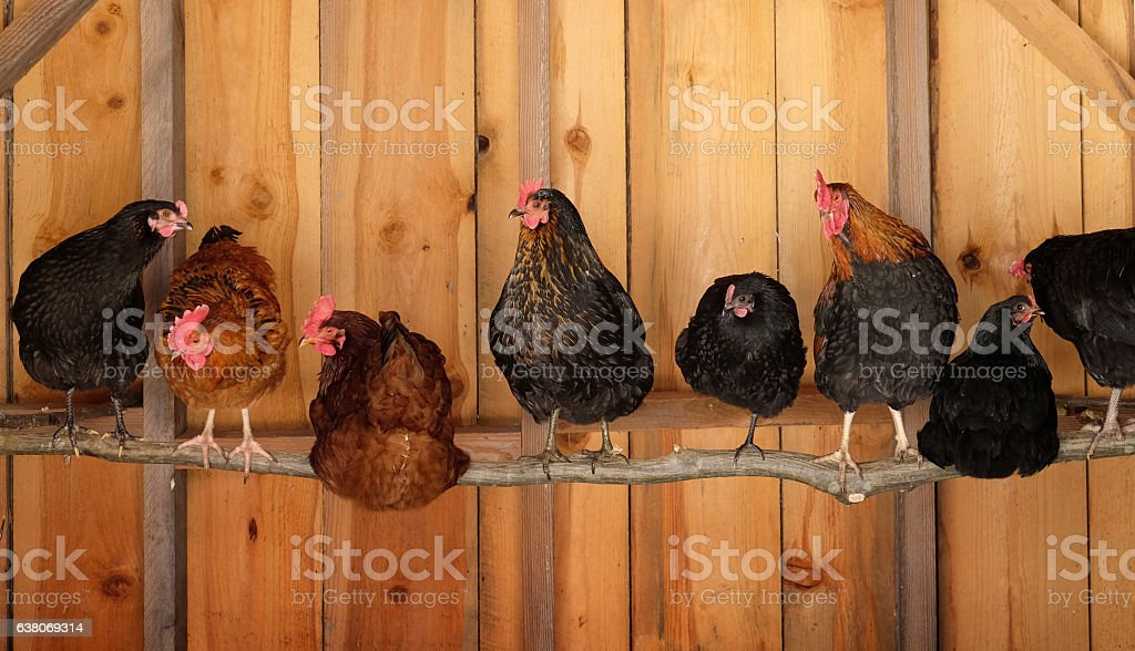Chickens roosting stock photo
