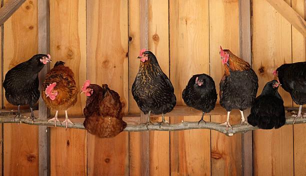 chickens roosting - neerstrijken stockfoto's en -beelden