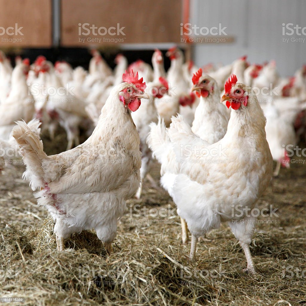 chickens walking around in barn stock photo