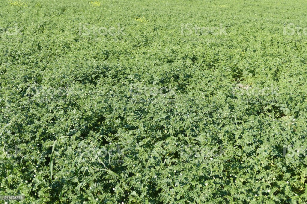 chickpeas turkey farm in the steppe climate,