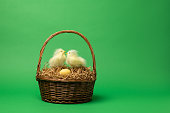Two chicks in a nest next to an unhatched egg. Two chicks in a brown easter basket await the birth of  chick about to hatch.