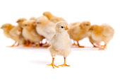 Stock photo of a group of yellow chicks, Buff Orphingtons, one standing apart from the others isolated on a white background.