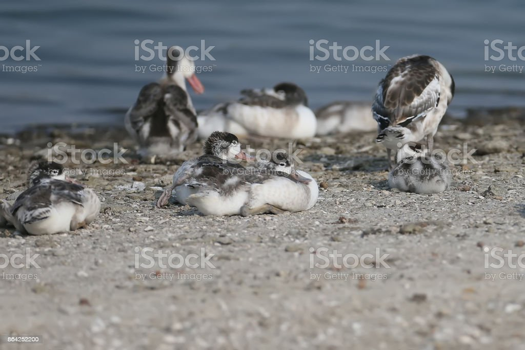 Chicks shelduck with their mother on the rest royalty-free stock photo