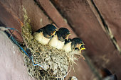 istock chicks swallows in nest 1217632453