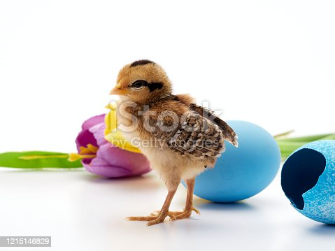 922661892 istock photo Chicks with easter eggs and yellow tulips on white background. 1215146829