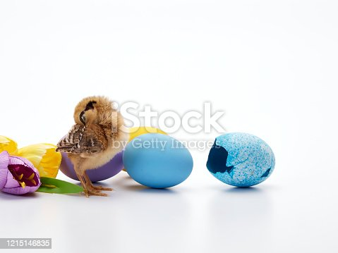 922661892 istock photo Chicks with easter eggs and yellow tulips on white background. 1215146835