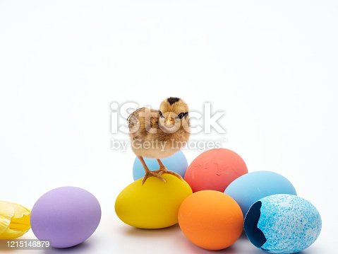 922661892 istock photo Chicks with easter eggs and yellow tulips on white background. 1215146879