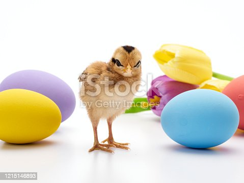 922661892 istock photo Chicks with easter eggs and yellow tulips on white background. 1215146893