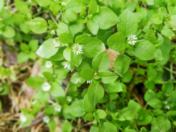 Chickweed, chickenwort, craches, maruns or winterweed stock photo