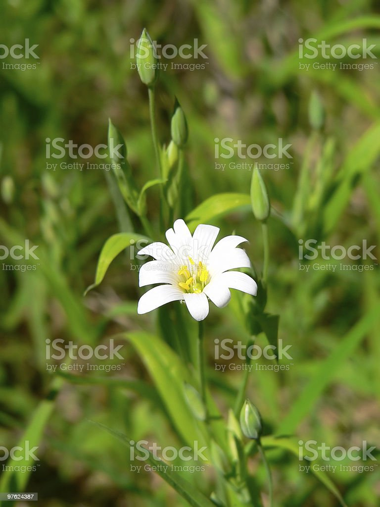 Chickweed royalty-free stock photo