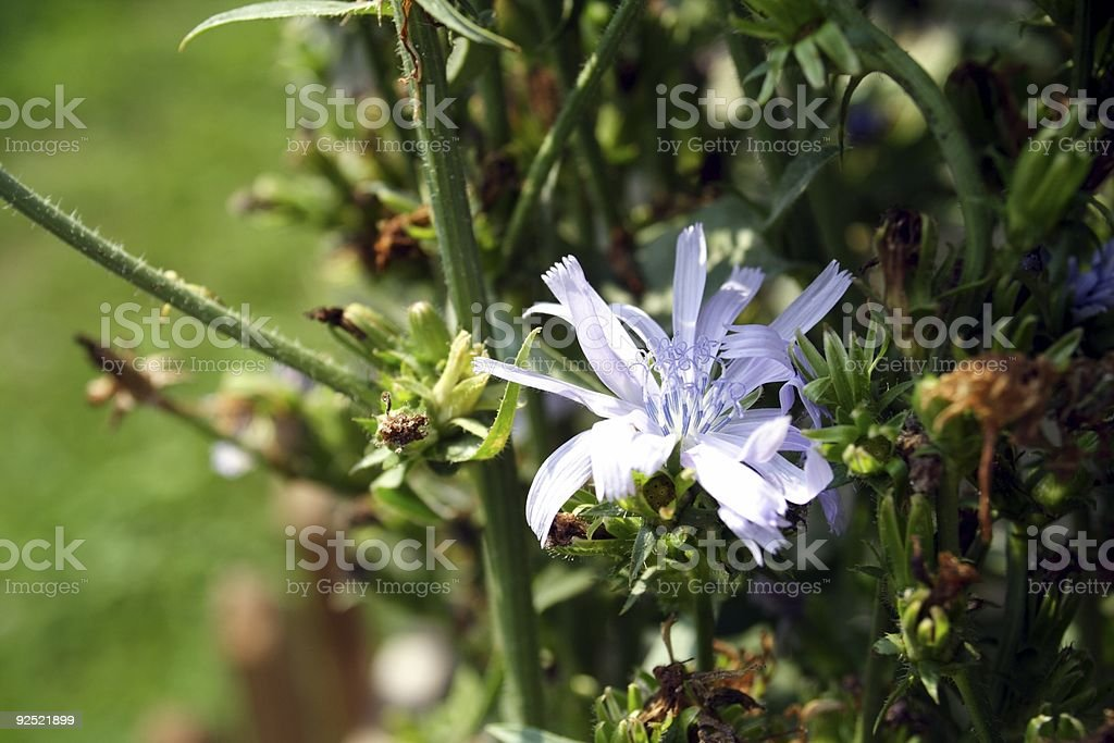 Chicory Bloom royalty-free stock photo