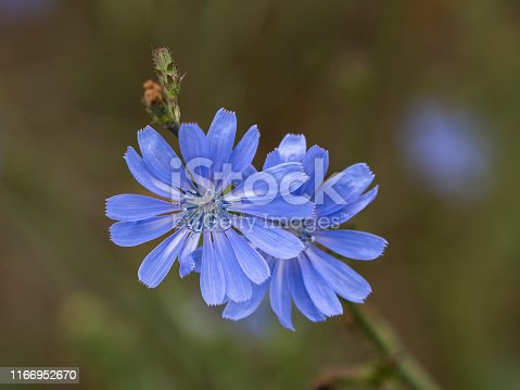 A blue colored common chicory (Cichorium intybus) wildflower in Western Oregon. Is in the dandelion family.