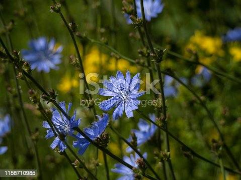 A common chicory (Cichorium intybus) wildflower in Western Oregon. Is in the dandelion family.
