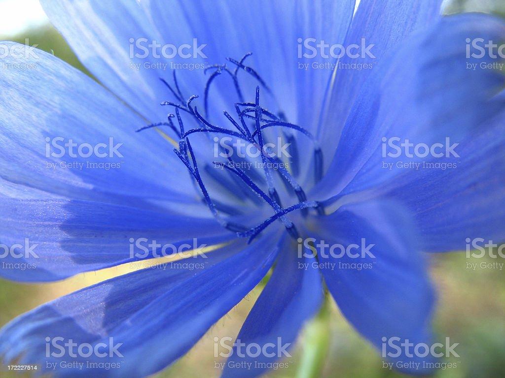Chicory Closeup royalty-free stock photo