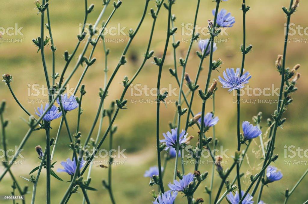 Chicory flower in nature stock photo