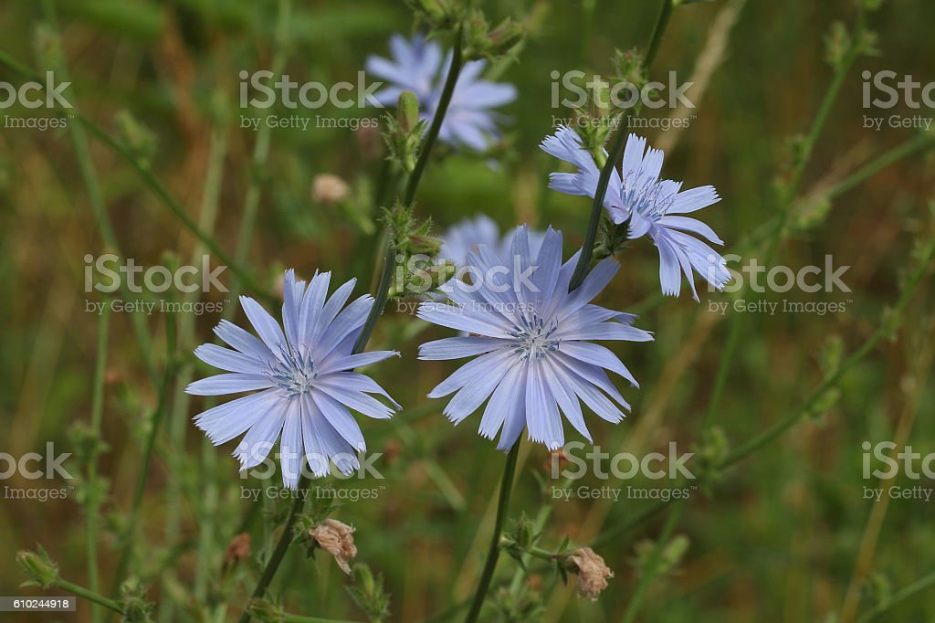 Chicory flower stock photo