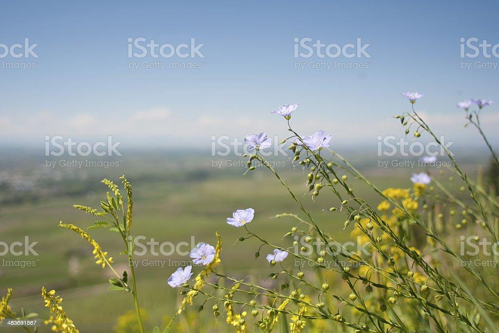 Chicory Flowers on Hillside stock photo