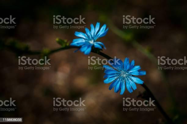 Chicory flowers picture id1158838033?b=1&k=6&m=1158838033&s=612x612&h=zhe9ty2kzcixt56beqvdjpwiozweybrk2qvrla wlra=
