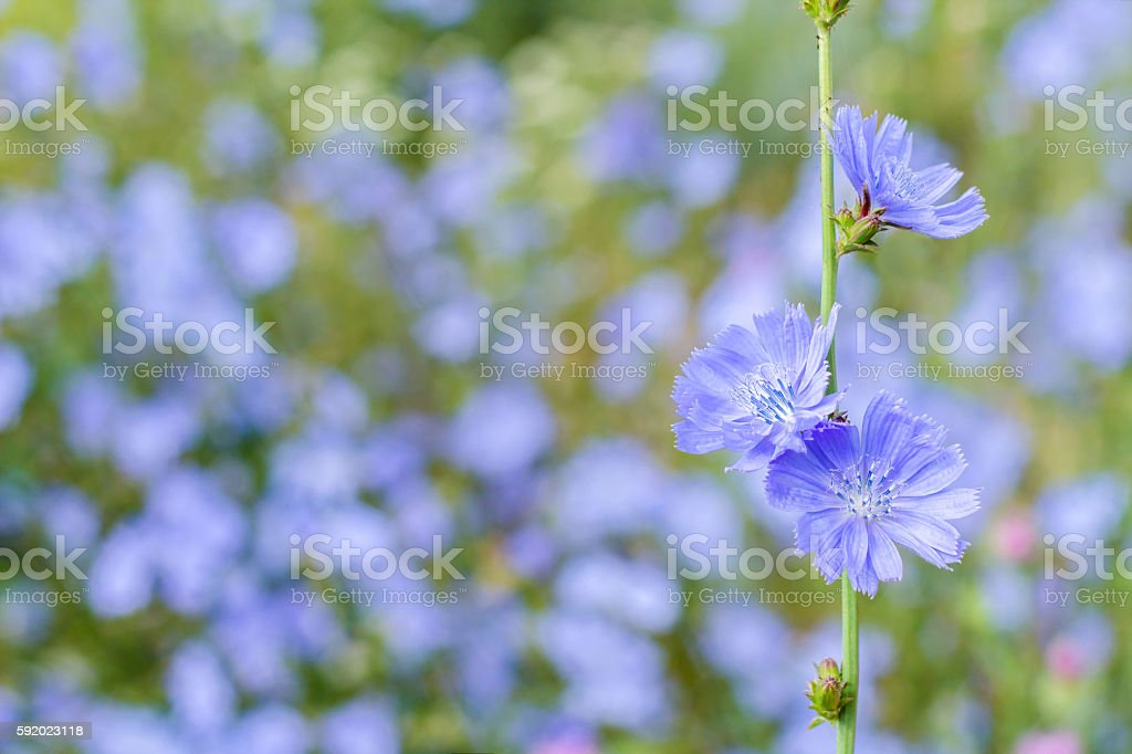 Chicory on a blurred background стоковое фото