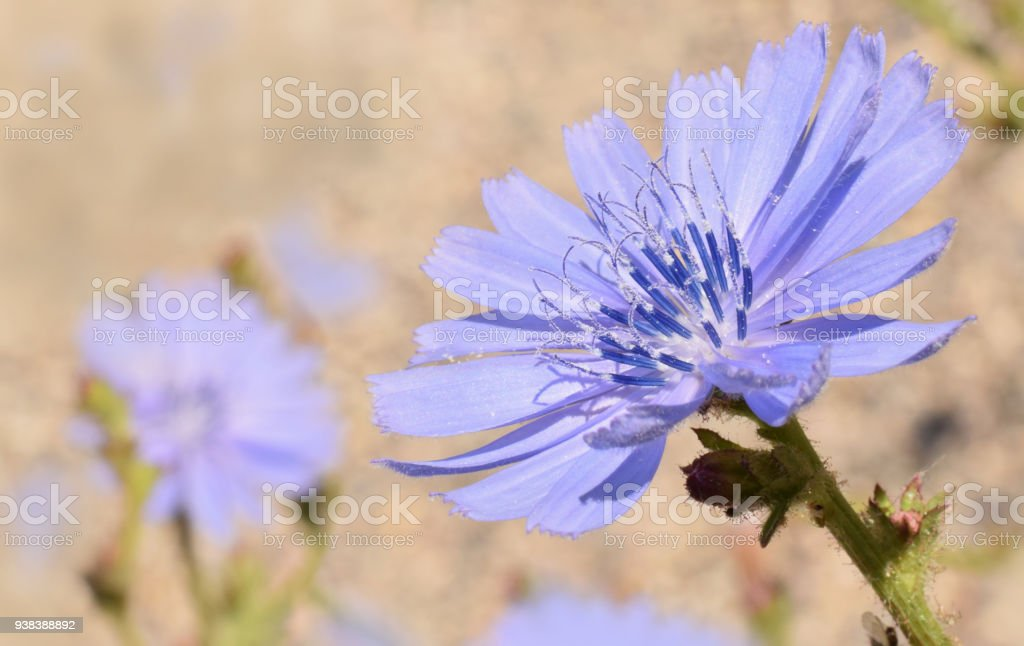 Chicory or succory in sunny da in summer stock photo