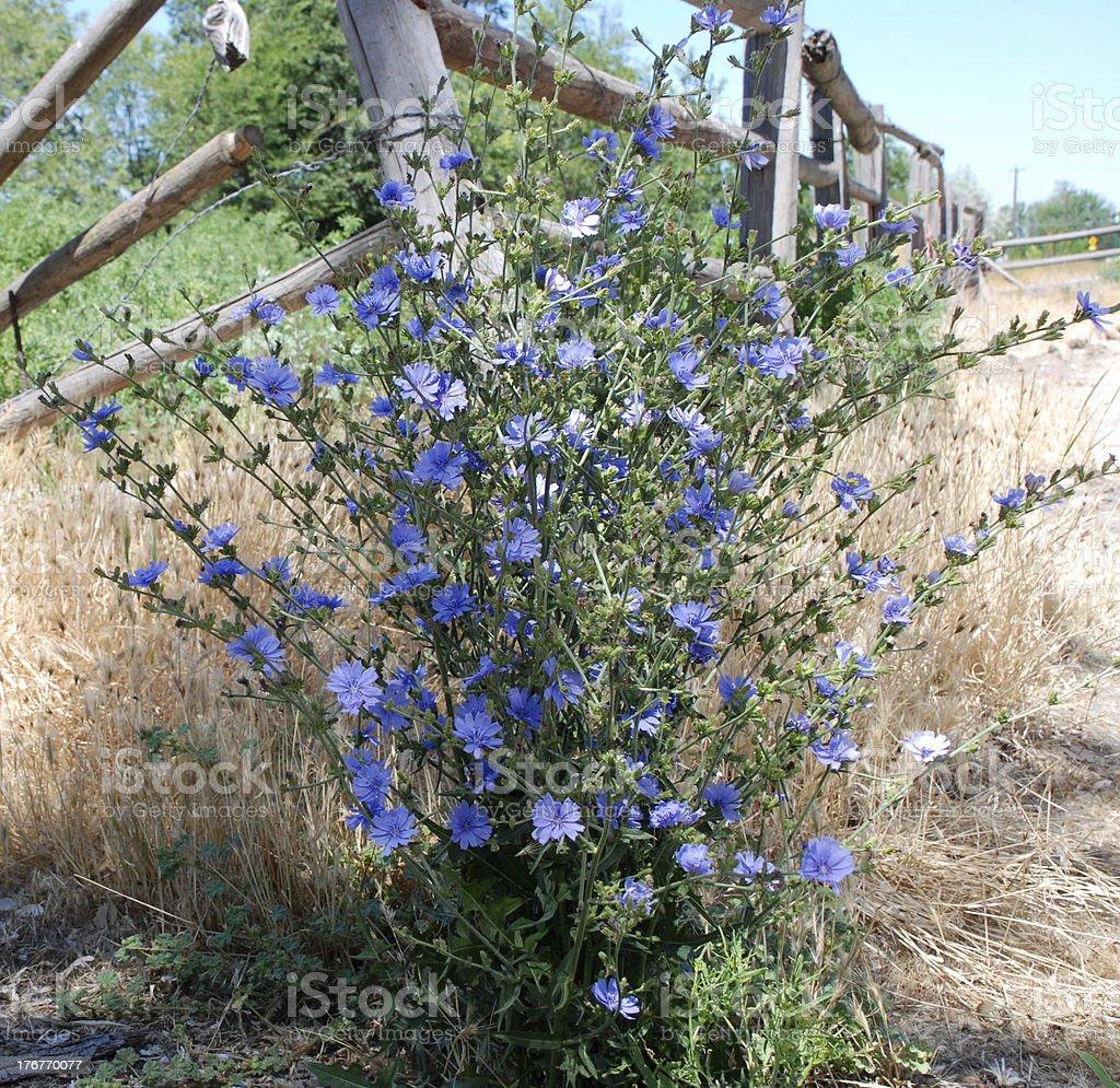 Chicorée Pflanzen Und Alten Zaun Stockfoto