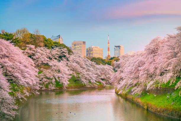 Parque Chidorigafuchi durante a temporada de primavera em Tóquio - foto de acervo