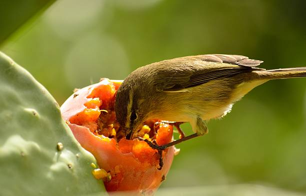 Chiffchaff eating inside prickly pear stock photo