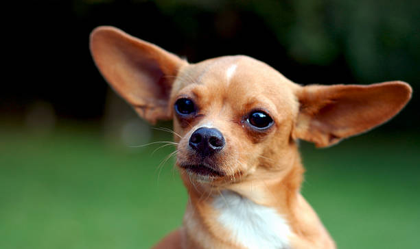 Chihuaha Alert Chihuahua short haired chihuahua stock pictures, royalty-free photos & images
