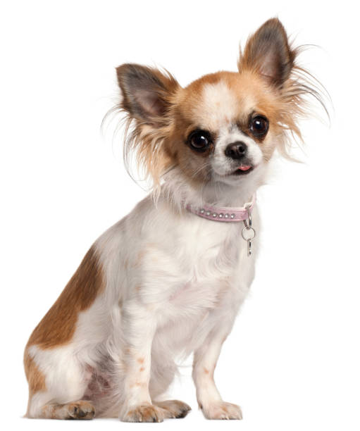 Chihuahua, 18 months old, sitting in front of white background stock photo