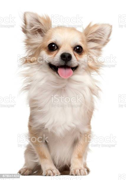 Chihuahua 2 years old sitting in front of white background picture id879041424?b=1&k=6&m=879041424&s=612x612&h=s1holw66hhcen 2edtj55ggbcjywr wdbdjy ajliqc=