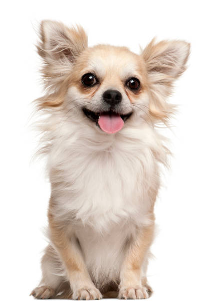 Chihuahua 2 years old sitting in front of white background picture id879041424?b=1&k=6&m=879041424&s=612x612&w=0&h=dbf6odedp9kyt8sgl6drz14 w7vhljl20wt8jlrsyes=