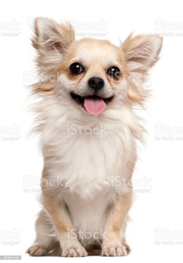 Chihuahua, 2 years old, sitting in front of white background stock photo