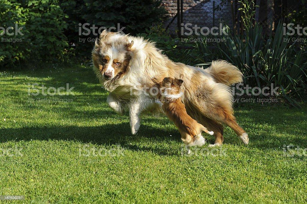 Chihuahua und Australian Shepherd Toben Sie sich auf den Garten – Foto