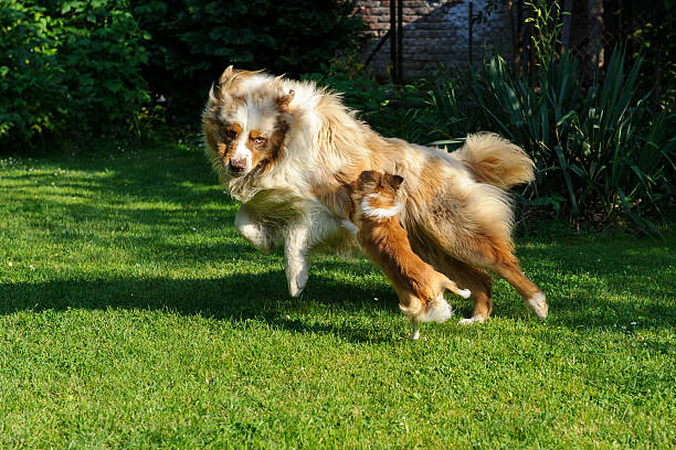 Chihuahua and Australian Shepherd frolic on the garden stock photo