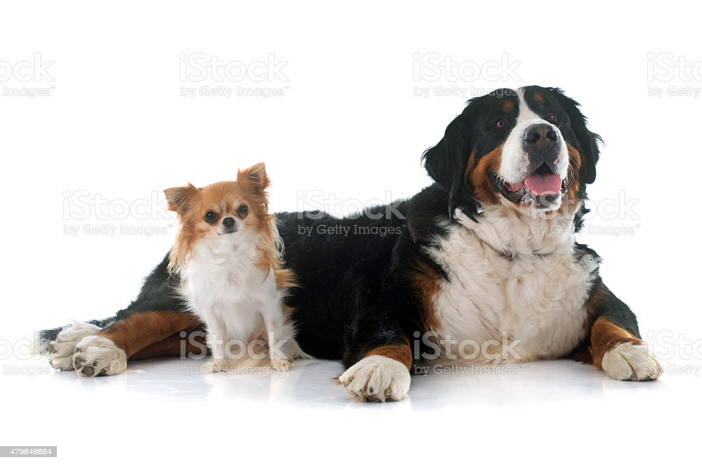 chihuahua and bernese mountain dog stock photo