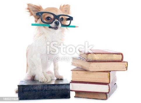 istock chihuahua and books 185031608