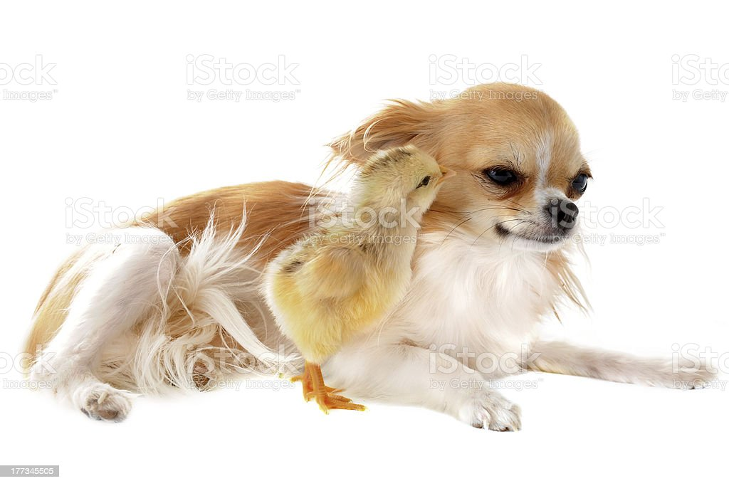 chihuahua and chick royalty-free stock photo