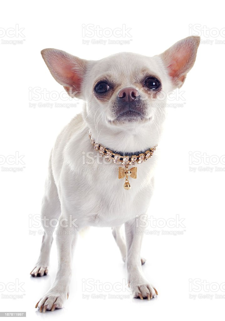 chihuahua and collar stock photo
