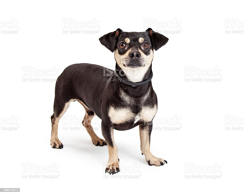 Chihuahua And Dachshund Mixed Breed Dog Standing Stock Photo More