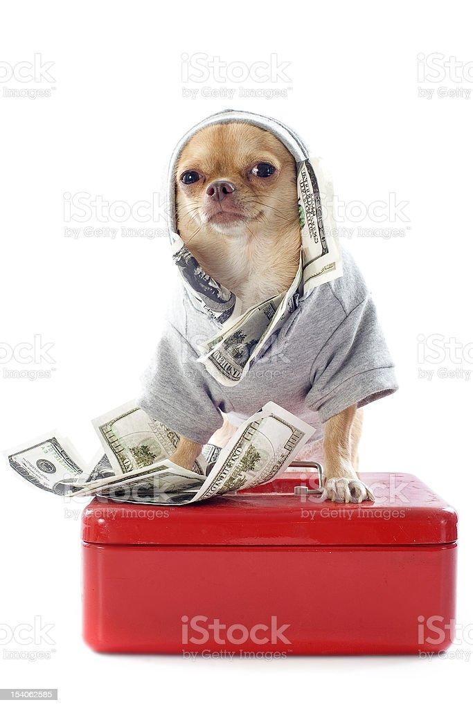 chihuahua and dollars stock photo