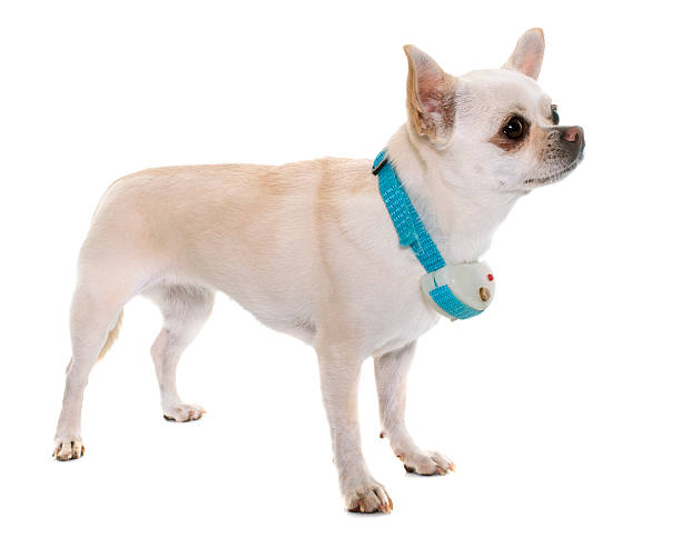 chihuahua and shock collar white chihuahua and shock collar in front of white background short haired chihuahua stock pictures, royalty-free photos & images