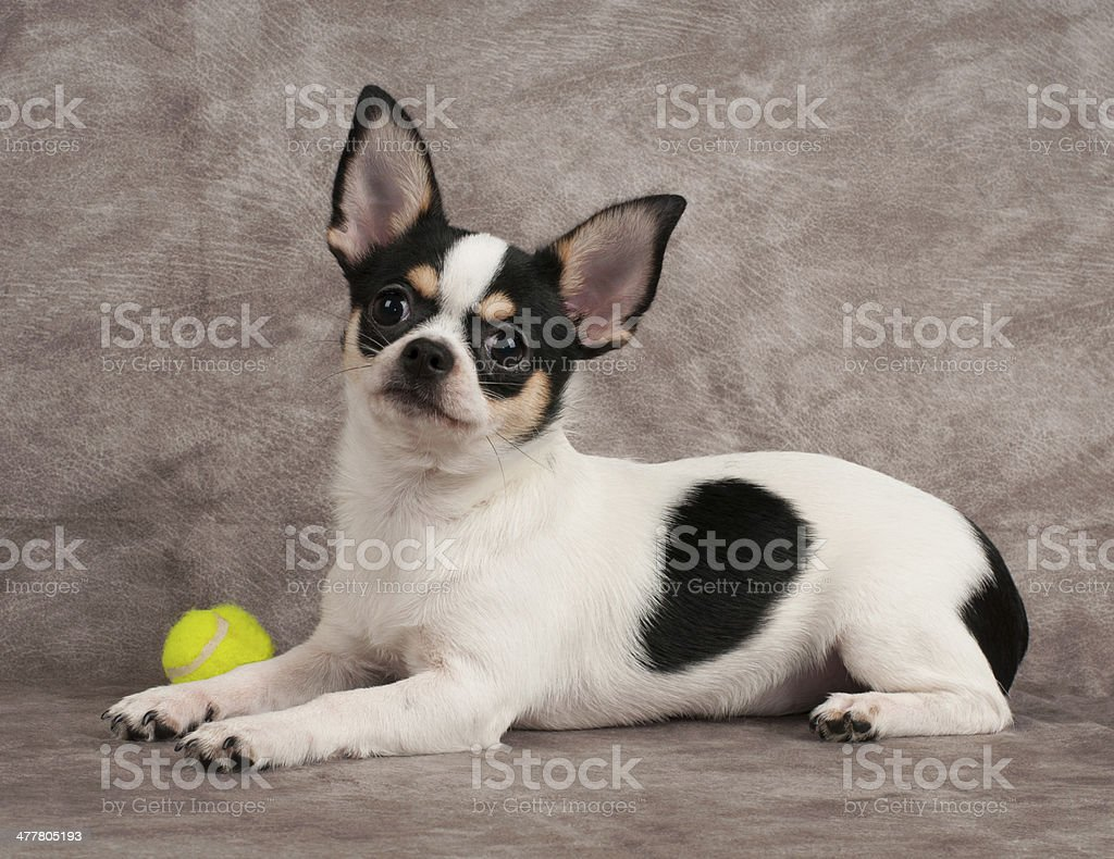 Chihuahua and yellow ball royalty-free stock photo