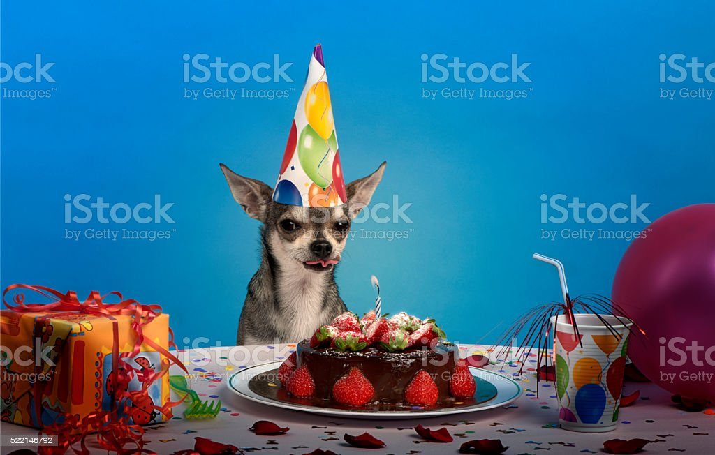 Chihuahua at table in front of blue background stock photo