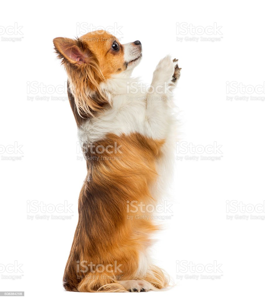 Chihuahua begging in front of a white background stock photo