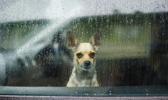 Chihuahua behind car window watching the rain