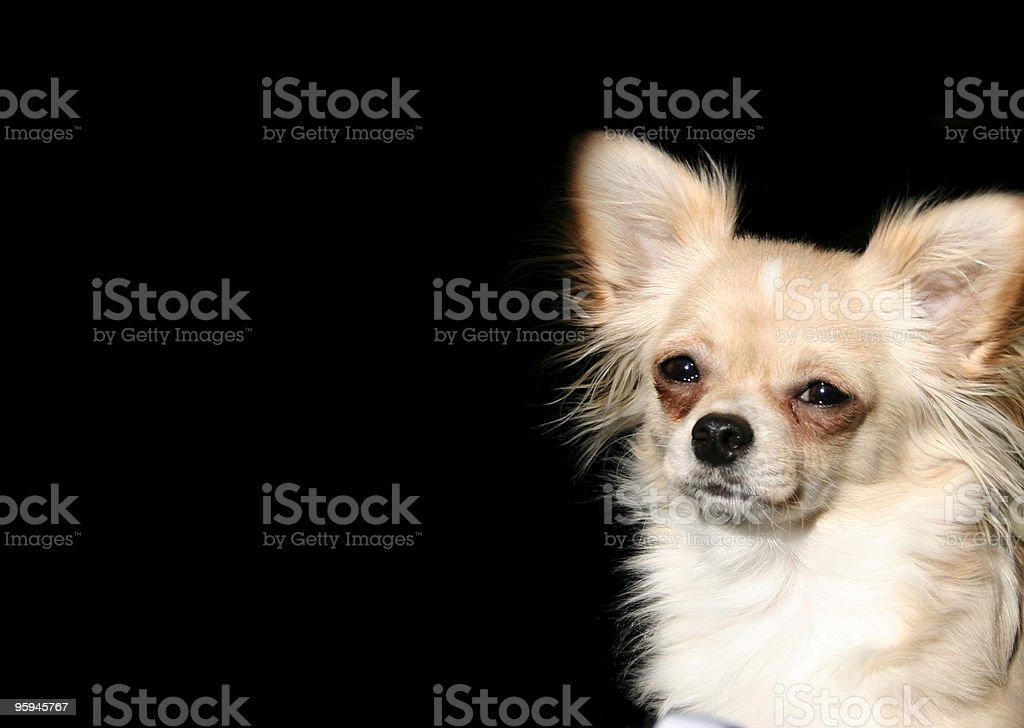 Chihuahua & fond noir Copyspace 2 photo libre de droits