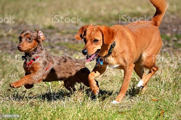 Chihuahua dachshund hybrid puppy races with red hound picture id183332526?b=1&k=6&m=183332526&s=612x612&h=ym mmu9dqxjgbnleg8mcdnx4dtcuxexut4u6j6eqej4=